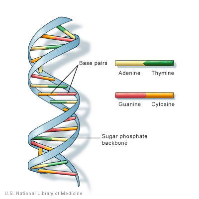 3d dna structure with opengl figure 2 dna has a spiral staircase like structure the steps are formed by the nitrogen bases of the nucleotides where adenine pairs with thymine and ccuart Image collections